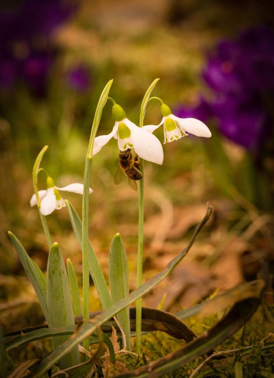 bloemetjes en bijtje - spring is here...<br /> ik was bezig met het sneeuwklokje te fotograferen toen plots een bij op bezoek kwam. Ik word hier heel
