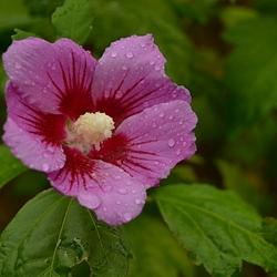 Hybiscus na een regenbui