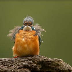 IJsvogel bad hairday 240618(*****)