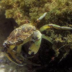 Een krab in Artis