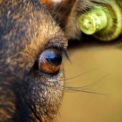Door de oog van de geit