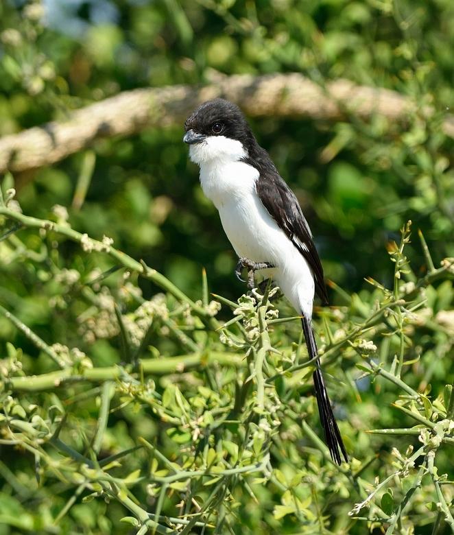 Cabanis' Klapekster - De Long-tailed Fiscal door avibase vertaalt als Cabanis' Klapekster is één van de vele soorten Fiscals in Afrika.