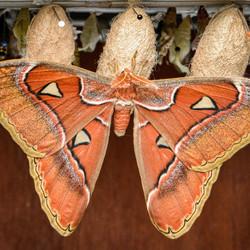 Vlindertuin 3 ( Atlasvlinder )
