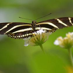 Heliconius Charitonius (Zebravlinder)