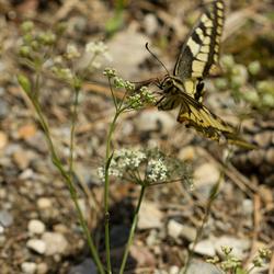 Oostenrijkse vlinder