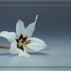abessijnse gladiool