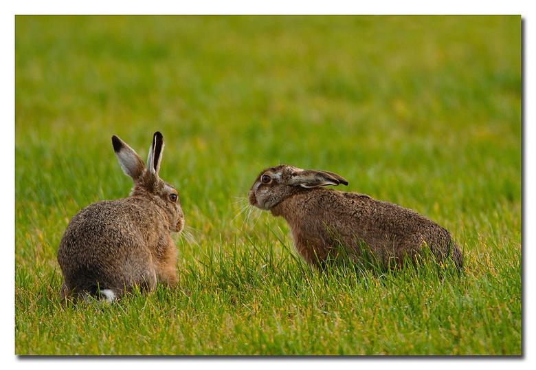 Knabbel  en Babbel - twee haasjes in het groene natte veld<br /> <br /> Effies in het groot bekijken!<br /> <br /> Heel erg bedankt voor de fijne