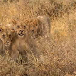 Spelende leeuwen