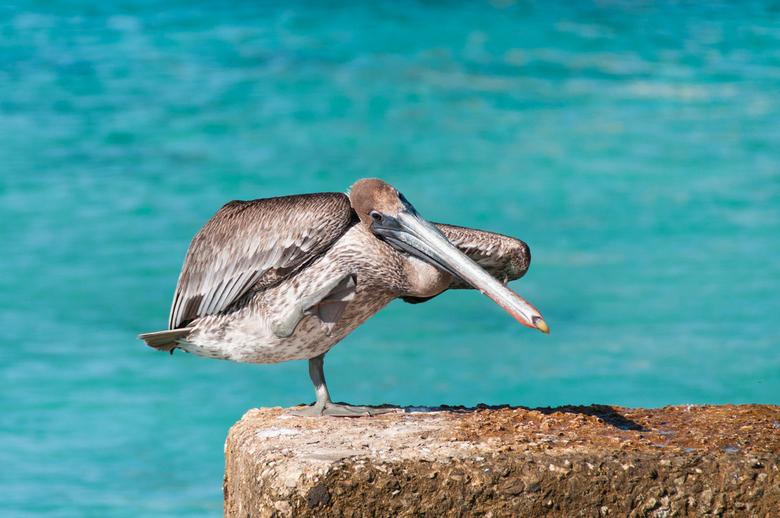 Jonge Pelikaan - Een jonge pelikaan op Bonaire