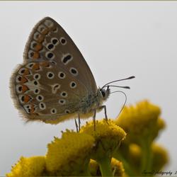 Grey sky Butterfly