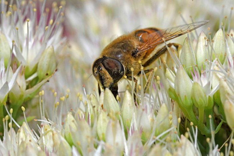 rattenstaart - De larven van de blinde bij (Eristalis tenax) leven in zuurstofarm, stilstaand water. De larven ademen aan de oppervlakte met een uitsc