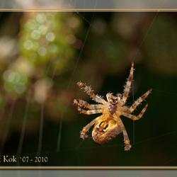 Spinnetje herstelt web