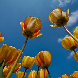 tulips..6