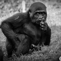 Jonge Gorilla