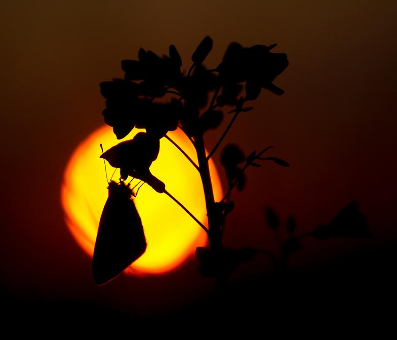 spring sunset  - Vanavond ben ik nog even terug geweest naar het veld met de pinksterbloemen en witjes, de oranjetipjes zijn nog niet te vinden helaas