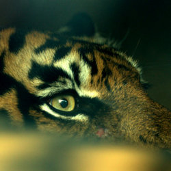 The eye of the tiger...