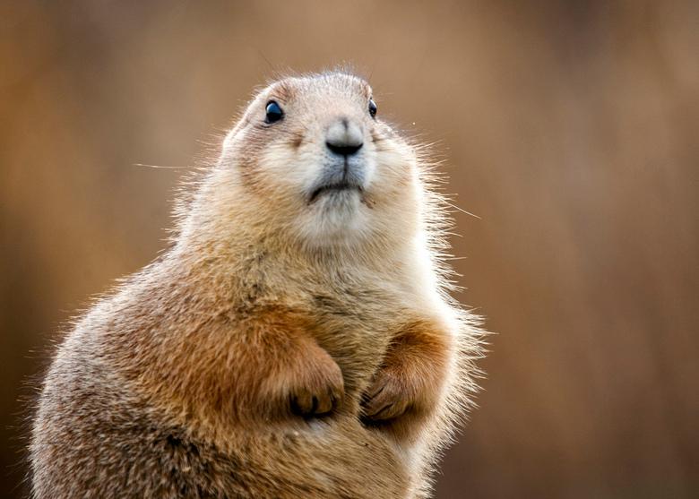 Groundhog - Grondmarmot in Blijdorp Zoo, Rotterdam.