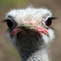 Close Up Struisvogel