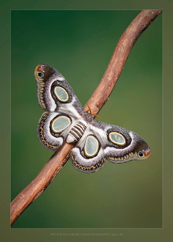 Beauty - De Epiphora Mythimnia,<br /> <br /> Wat een prachtige nachtvlinder is dit....<br /> Ben net een beetje opgeknapt van mijn tanden, nu gevel