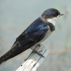 Pearl Breasted Swallow