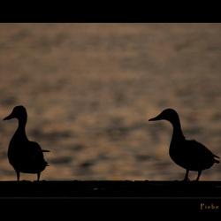 Ducks watching the sunset