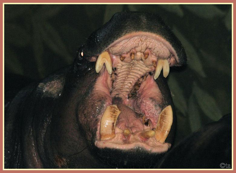 Sesam open u! - De 2 dwergnijlpaarden waren aardig druk en liepen steeds achter elkaar aan tot ze plots elkaar diep in de ogen keken en allebei de gro