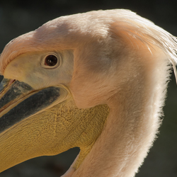 Close up pelikaan