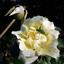 Bedauwde roos met groene sprinkhaan