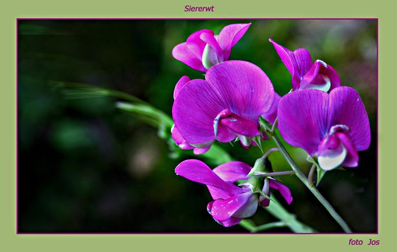 Latherus - Opgedragen aan alle medezoomers die net als ik houden van bloemen en dan vooral in de eigen tuin. gr.jos