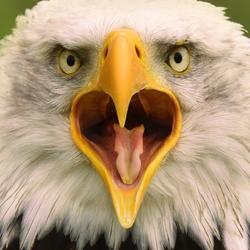 Mad Eagle