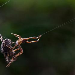 Parende kruisspinnen 2
