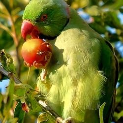 Halsband Parkiet eet appeltje