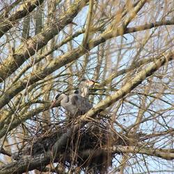 Reiger koppel, in het nest