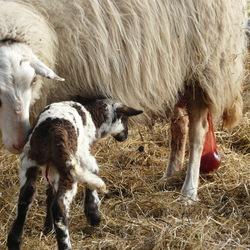 net geboren lammetje met nageboorte bij de ooi