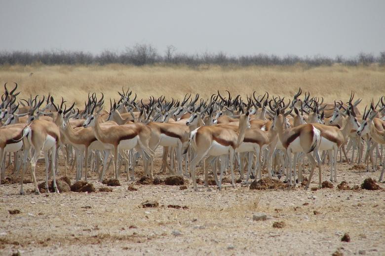 Springbok meetingpoint - Deze foto is genomen in Etosha, Namibië. Op eens kwamen er een heel veel springbokken aangelopen en bleven naast onze auto st
