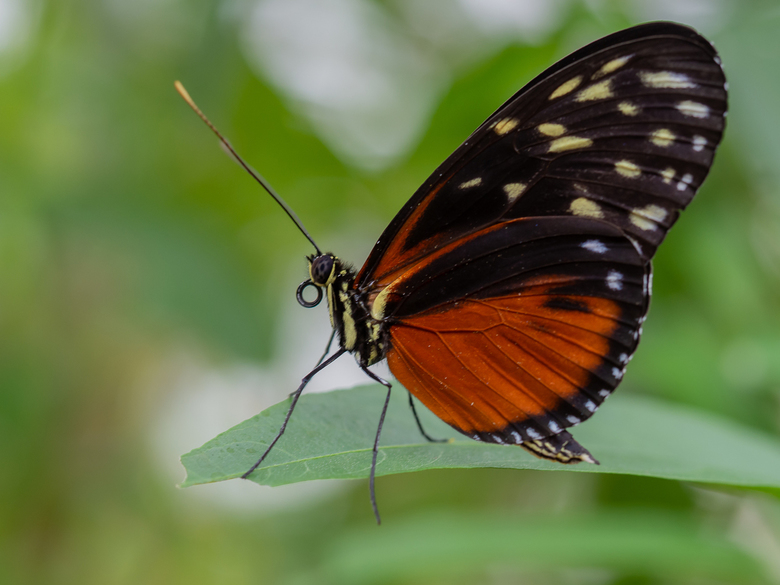 Vlinder, Passieflorahoeve -