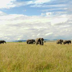Olifanten in de Afrikaanse savanne
