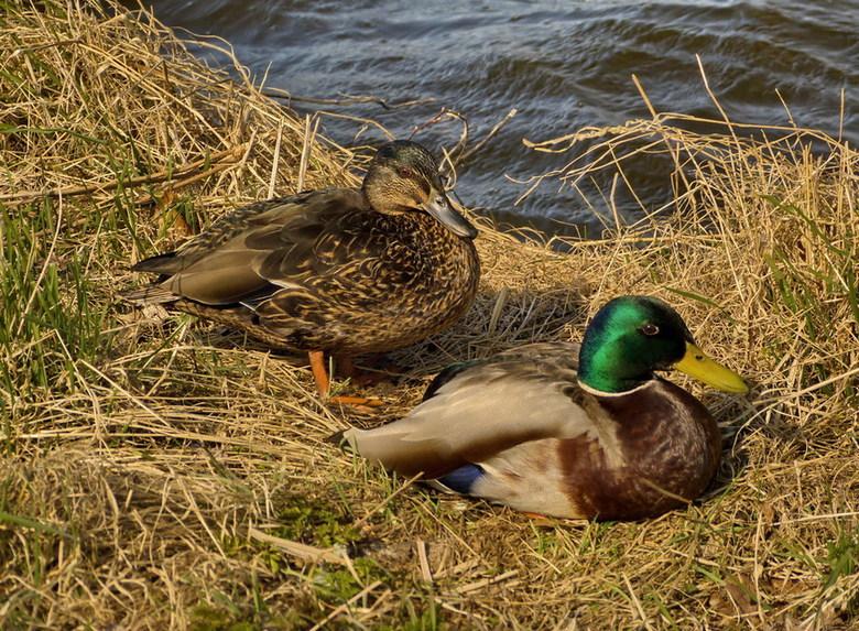 Vogel serie 184. - Mooi stel langs de rivier de Amstel.<br /> 3 april 2013. <br /> Groetjes Bob.