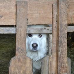 Eva de pyrineeseberghond