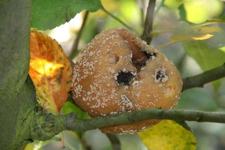 Rotte Appel - Appel die het niet als voedsel gaat redden in de boomgaard van de Olmenhorst in de Haarlemmermeer