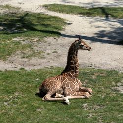 girafjong