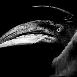 Dubbele Neushoornvogel
