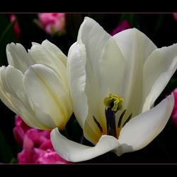witte tulpen