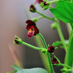 scrophularia peregrina-netelblad-helmkruid