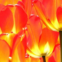Vlammende tulpen