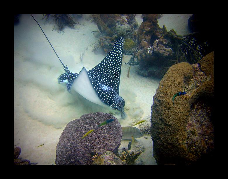 Wroetende Eagle Ray - Een andere Eagle Ray onder water tegengekomen op Bonaire.<br /> <br /> Alvast iedereen een fijne jaarwisseling.<br /> <br />