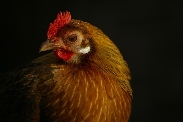Huis- Scharrel- Kip - In mijn  portrettenreeks de beurt aan de Scharrel Kip. Legt sinds kort piepkleine eitjes en loopt je aardig voor de voeten. Tokt