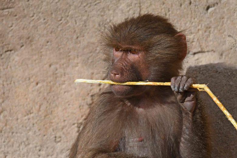 ik lust alles - In grootte de 2e sociale groep bij mantelbavianen is de clan. Een clan bestaat uit 3 of 4 volwassen, met elkaar verwante, mannen en hu