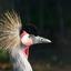 Kroon-kraanvogel