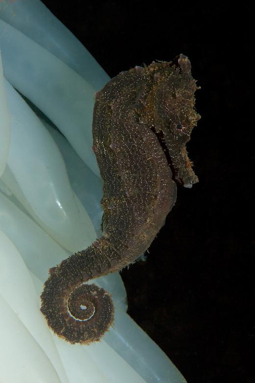 seahorse - Normaal zeepaardje vindt beschutting bij een touw vol met inktvis eitjes